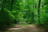 """Постер, картина, фотообои """"путь между деревьями в зеленом красивом лесу в Вюрцбурге, Германия"""""""