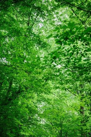 Photo pour Vue à angle bas des arbres verts avec des feuilles dans la forêt à Wurzburg, Allemagne - image libre de droit