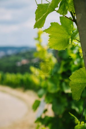 Photo for Selective focus of green vine leaves in Wurzburg, Germany - Royalty Free Image