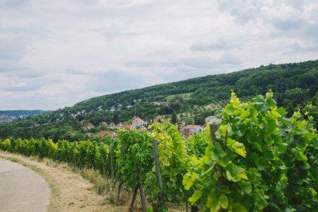 beautiful green vineyard, road and hill in Wurzburg, Germany