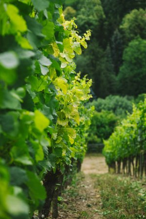 selective focus of rows of green vineyard in Wurzburg, Germany