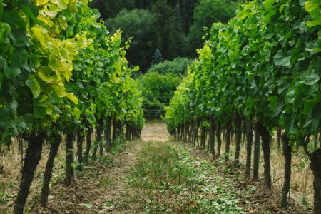 Photo for Rows of green vineyard and trees behind in Wurzburg, Germany - Royalty Free Image