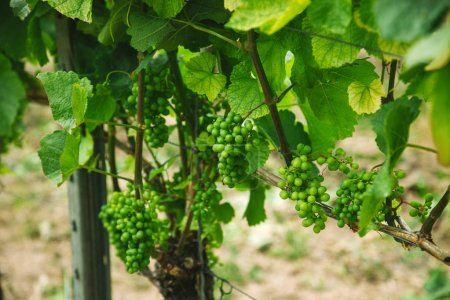 Photo for Selective focus of green grapes on vineyard in Wurzburg, Germany - Royalty Free Image