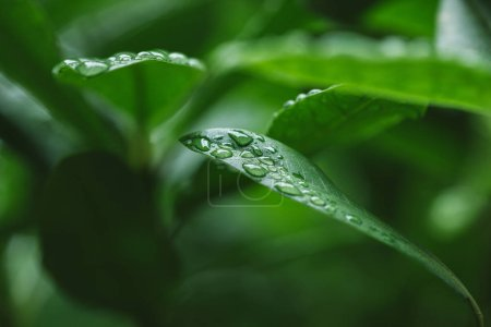 selective focus of water drops on green leaves