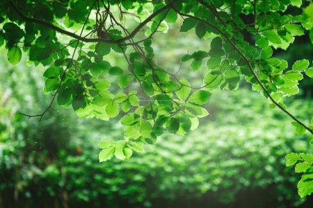 Photo pour Foyer sélectif des branches aux feuilles vertes sous la lumière du soleil - image libre de droit