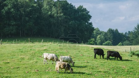 Photo for Rural scene with cows grazing on green meadow in Hamburg, Germany - Royalty Free Image