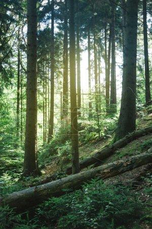 Photo pour Beaux arbres dans la forêt verte avec la lumière du soleil à Hambourg, Allemagne - image libre de droit