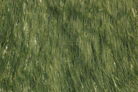 Photo pour Gros plan de fond avec des algues vertes humides - image libre de droit