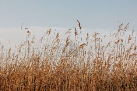 Photo pour Beaux roseaux secs sur le vent et ciel bleu avec des nuages - image libre de droit