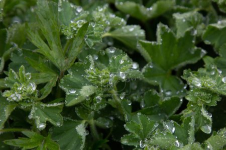 Photo for Close up image of green leaves with water drops - Royalty Free Image