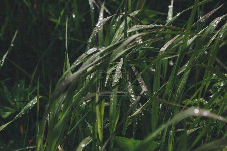 Photo pour Vue rapprochée de l'herbe verte avec des gouttes d'eau - image libre de droit
