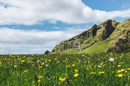 Photo for Green meadow with dandelions and chamomiles near mountain in Iceland - Royalty Free Image