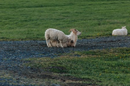 scenic view of sheep grazing in beautiful meadow in Iceland
