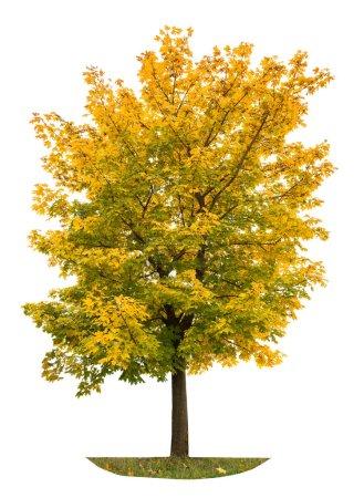 Photo pour Érable d'automne isolé sur fond blanc. Feuilles jaunes automnales. Objet nature - image libre de droit
