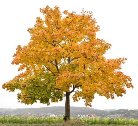 Photo for Yellow red autumnal maple tree. Autumn landscape photo - Royalty Free Image