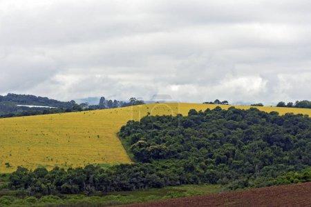 Photo pour Champ de soja à maturité, avec des détails d'arbres, à Sao Paulo, Brésil - image libre de droit