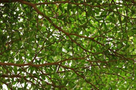 Photo pour Branches d'arbres aux feuilles vertes, vue rapprochée - image libre de droit
