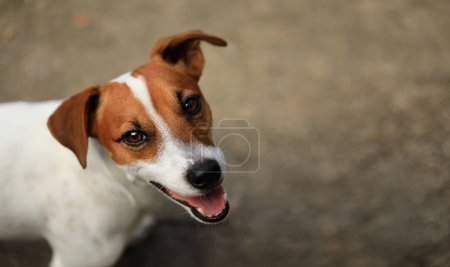 Photo pour Portrait en gros plan du mignon chien Jack Russell Terrier - image libre de droit
