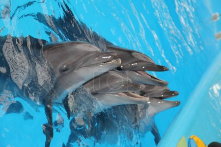 beautiful dolphins captive in aquarium venue in water.
