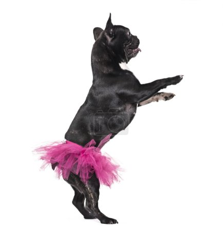 Photo for French Bulldog, 1.5 years old, dancing in tutu standing against white background - Royalty Free Image