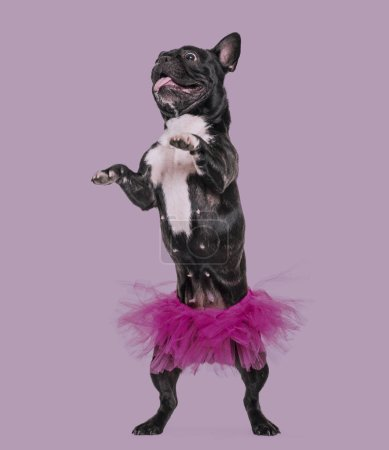 Photo for French Bulldog, 1.5 years old, dancing in tutu standing against Purple background - Royalty Free Image
