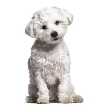 Maltese dog , 11 months old, sitting against white background