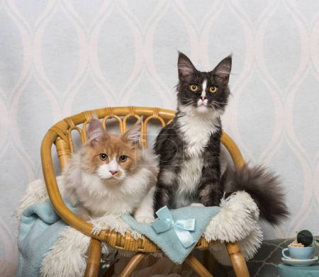 Maine coon cats sitting on chair in studio, portrait
