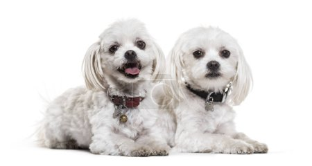 Maltese dogs, 4 years old, against white background