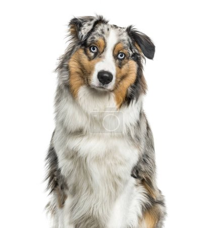 Australian Shepherd dog looking at camera against white background