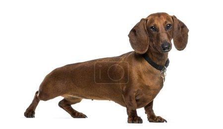 Dachshund dog standing against white background