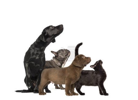 Photo for Groups of dogs, Labrador Retriever Puppy, Labrador Retriever, Mixed-breed black cat, French bulldog, in front of white background - Royalty Free Image