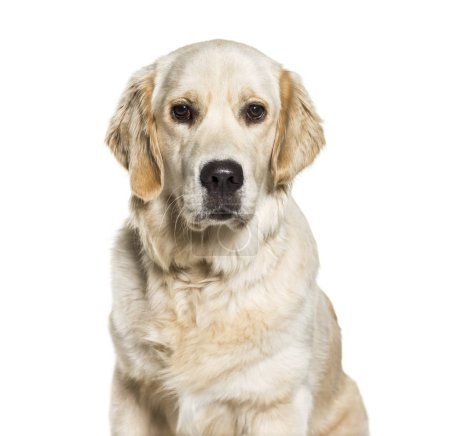 Golden Retriever, 10 months old, in front of white background