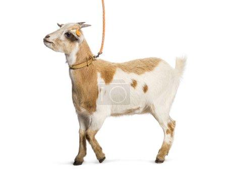 Photo pour Chèvre en laisse devant fond blanc - image libre de droit