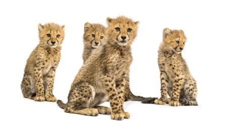 Photo for Group of a family of three months old cheetah cubs sitting together - Royalty Free Image