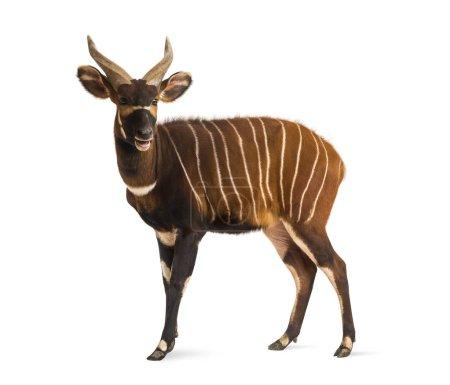 Photo for Bongo, antelope, Tragelaphus eurycerus standing against white background - Royalty Free Image
