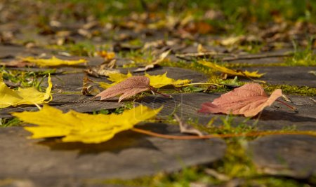 Photo pour Bright yellow maple leaves and red hawthorn leaves on the wooden-tiled walkway.Close up. - image libre de droit