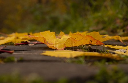 Photo pour Bright maple and hawthorn leaves on the wooden-tiled walkway.Close up. - image libre de droit