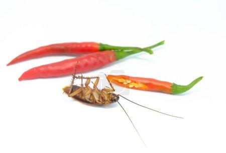 Photo pour Un chili peut chasser les cafards, Gros plan chili cafard sur le style isolé . - image libre de droit