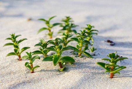 Photo pour Minuartie de mer dans le sable sur le bord de la mer Baltique - image libre de droit
