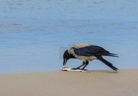 Photo pour Une corneille grise sur le bord de la mer Baltique mange les poissons morts - image libre de droit