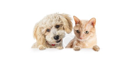 Cute small dog and orange cat hanging over and looking down at white banner