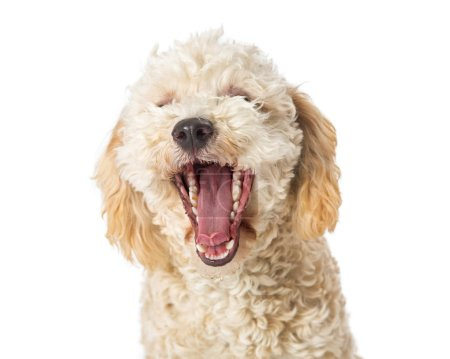 Cute young white color Poodle crossbreed dog with mouth wide open to yawn isolated on white background, close-up