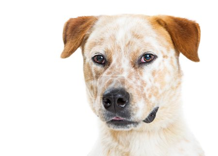 Close-up portrait of a pretty Australian Cattle Dog mixed breed dog with white fur and orange markings