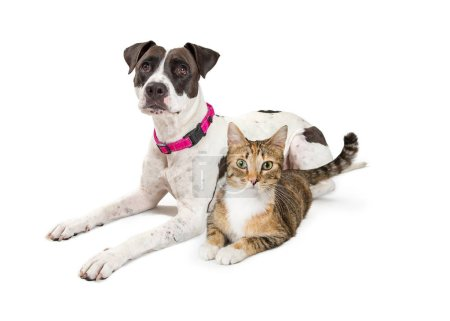 Friendly terrier dog and tabby cat lying down together isolated on white background