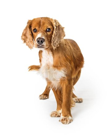 Cute Cocker Spaniel mixed breed adult dog isolated on white, looking at camera