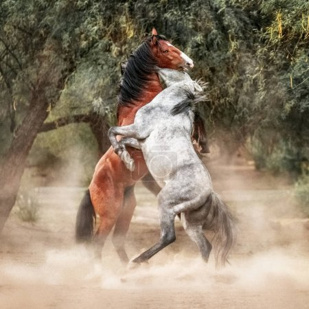 Two beautiful young wild horses rearing up on hind legs and play fighting in a woodland area of the desert at Butcher Jones Beach on the Salt River of Mesa Arizona.