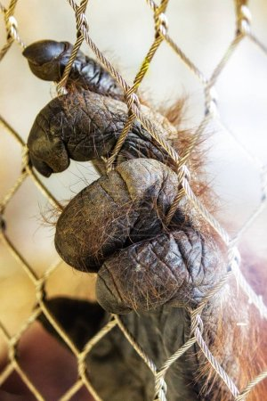 Hand of a large orangutan ape in captivity that is grabbing a wure chain link fence with room for text