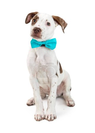 Cute young Pointer crossbreed puppy dog sitting on white wearing blue formal bow tie