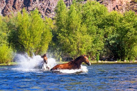 Stallion chasing other stallion in water of the Salt River in Mesa Arizona