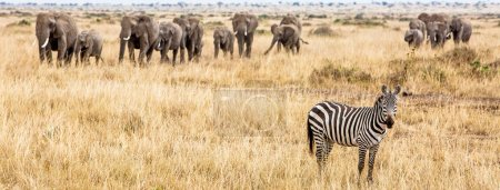 Horizontal banner of zebra and large herd of elephants in Kenya, Africa